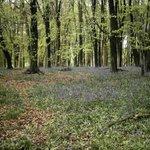 Ashridge Bluebells