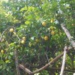 Lemon grove along the walk to Amalfi