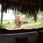 the 'house elephant'