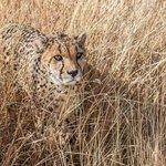 Guepard lors du Safari dans le parc