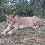 Lioness considering prey