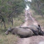 Rhinos in road