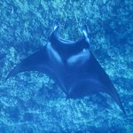 Manta ray (manta alfredi, hahalua), Vito's Reef off Kailua-Kona, Hawaii, HI