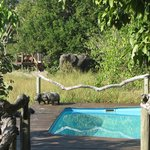 Elephant by camp and pool