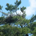 Two Bald Eagles nesting