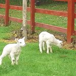 Lambs frolicking in fields.