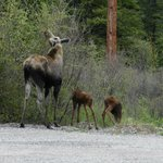 Mama Moose and her Twin Babies in the parking lot as we left