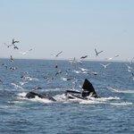 Humpbacks eating
