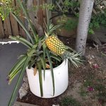 Pineapple plant on the deck