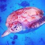 Gorgeous turtles roaming the sea.