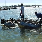 Zebu-cart to the boat