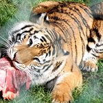 tiger munching lunch