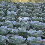 Cabbage fields :)