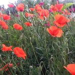 Poppies for D-Day