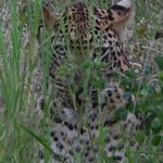 It took while, but we found a leopard hiding in the brush