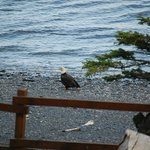 Eagle on beach in front of Lodge