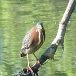Green heron in South Pond