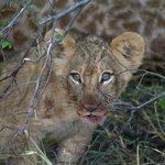 Cub with giraffe blood