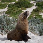 Hair Seal