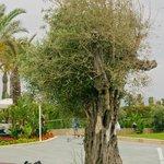 Оливковые деревья растут на всей территории