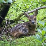 Fawn sitting in bushes waiting for mother deer