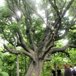 The Big Bur Oak""