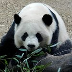 Panda at Zoo Atlanta