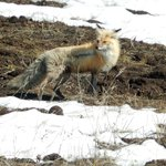a hungry fox on the hill to Dunraven Pass