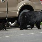 "a ""Bear Jam"" for momma black bear and her cubs!"