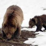 Grizzly and her cub foraging for food...