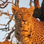 Leopard driven up a tree by Lions