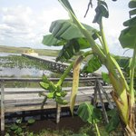Banana tree on airboat ride at MIccosukee