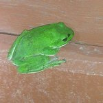 no exaggeration...the frog is exactly this bright green!