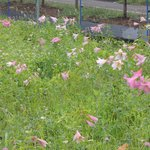 野草に交じって咲くひめさゆり
