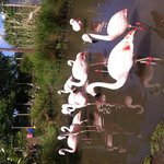Fabulous flamingoes