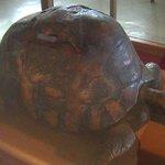 Tu'i Malila Tortoise