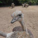 Cheeky Ostrich