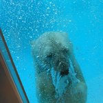 Deep diving polar bear