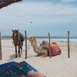 horse ,camel having a break