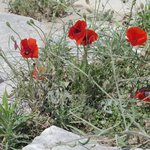 Poppies in bloom at the Acropolis