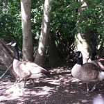 Geese Lister Park