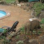 Warthog at swimmingpool
