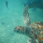 Turtles while snorkelling