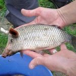 Fisch, ohne Angel gefangen....