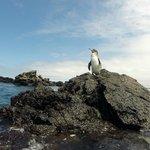 Pinguino de Galapagos in Los Tuneles