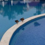 Ducks at the pool.