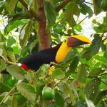 Chestnut-mandibled Toucan ready for breakfast.
