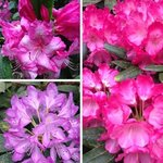 Rhodos that were blooming in late May