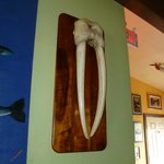 Walrus tusks by the bar