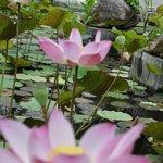 Les jolis lotus de l'étang